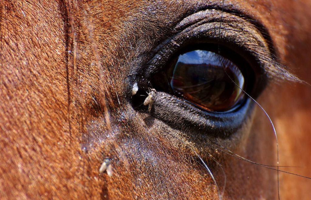 Flies can irritate horses' eyes. A horse's eye with flies near it.